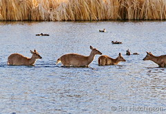 April 23, 2020 - Deer cross a lake. (Bill Hutchinson)