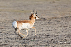 April 26, 2020 - Pronghorn buck on the run. (Tony's Takes)