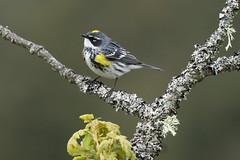 Yellow-rumped Warbler (Myrtle) - Mt Douglas, Victoria BC