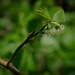 Tall huckleberry