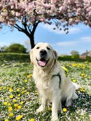 Sonny under the blossom tree