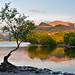 Lone tree of llyn padarn
