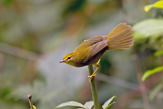 Flavescent Warbler (Myiothlypis flaveola)