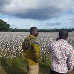 Ghana Cochran - cotton field