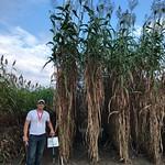 Peru, Ecuador, Venezuela Cochran - sorghum growth
