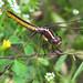 Yellow-sided skimmer, female (Libellula flavida) - 2nd of the year