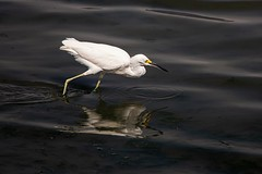 White egret, Paracas, Peru