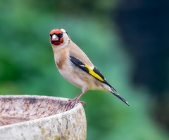 Garden 27.04.20 Goldfinch-1