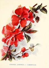 Anglų lietuvių žodynas. Žodis chaenomeles japonica reiškia <li>Chaenomeles japonica</li> lietuviškai.