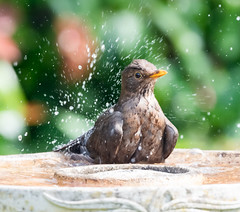 Garden 27.04.20 Mrs Blackbird bathing