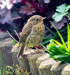 Garden 27.04.20 Juvenile Robin 1-1