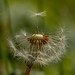 Ode to the dandelion....the extraordinary in the ordinary. Great for feeding bees and insects till the gang shows up, wine, food, nutritious.
