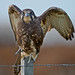 Brown Falcon: At at a Turn