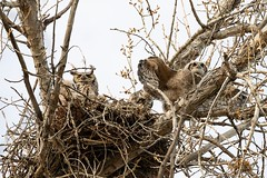 April 28, 2020 - Great horned owl owlet stretches its wings. (Tony's Takes)