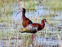 April 28, 2020 - White-faced ibis hanging out. (Bill Hutchinson)
