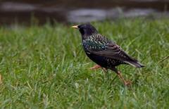 Stare-Starling
