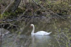 svan- swan