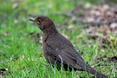 koltrast hona- Black bird (female)