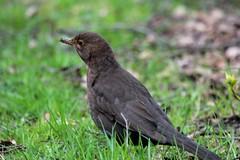 koltrast hona- Black bird (female)