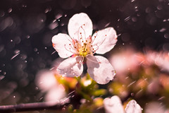 Cherry blossom in the spring rain