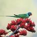 Slaty-headed Parakeet on Indian Coral Tree Flower