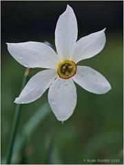 Narcisse du premier mai