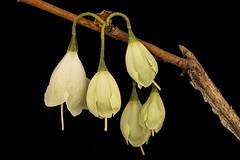 Anglų lietuvių žodynas. Žodis halesia tetraptera reiškia <li>Halesia tetraptera</li> lietuviškai.