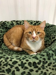 Ginger - 12 year old neutered male