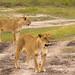 Young Male Lions, Maasai Mara