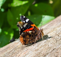 Walkies 02.05.20 Red Admiral