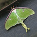 Luna moth - first of the year