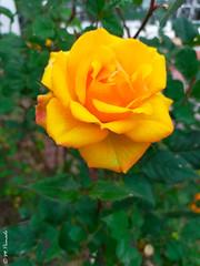 014200 - Rosa