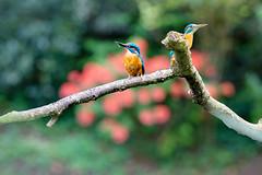 Kingfishers pair