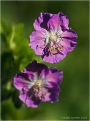 Geraniaceae