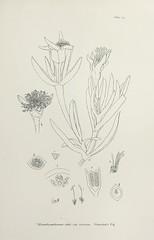 Anglų lietuvių žodynas. Žodis mesembryanthemum edule reiškia <li>mesembryanthemum edule</li> lietuviškai.