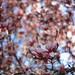 Magnolia blooms_000464130007