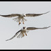 Black-shouldered Kite: Mum shows how its done