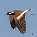 A Red-Wattled Lapwing in Flight