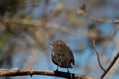 Koltrast (hona)- Blackbird (female)