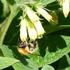 Bee feeding on Tuberous comfrey, Haggs
