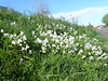 White bluebells, Longcroft