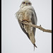 Black-shouldered Kite: Mouse eyed view