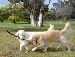 Rescue Golden Retrievers Olivia & Loki DSC_2172