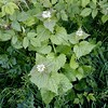 Garlic mustard:  Alliaria petiolata