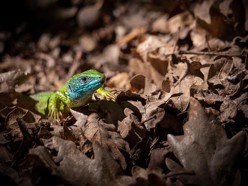 kleiner Drache am Waldboden, little dragon in the forest, Lacerta viridis