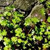 Shining Cranesbill : Geranium lucidum