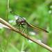Spangled skimmer, immature male - foty  (Libellula cyanea)