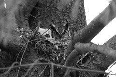 2 Great Horned owls -  baby Hubert and mom Owlivia
