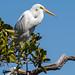 Great Egret (Ardea alba modesta)