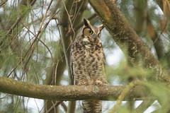 2020 Mama Owl
